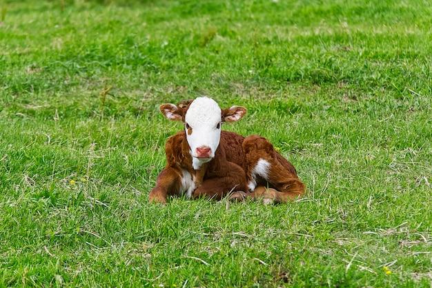 牧草地のぼやけた緑の草に横たわっているかわいいオレンジと白の子牛。コピースペース