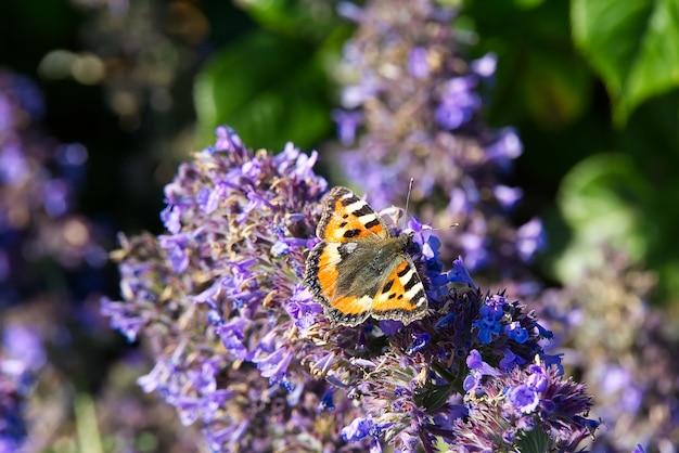 オレンジ色の蝶がラベンダーの花の上に座ってクローズアップ。