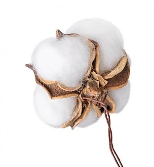 綿植物のふわふわ綿花