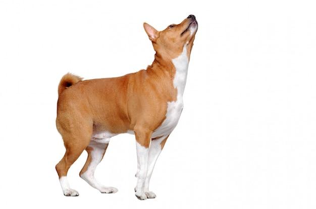 コピースペースを見上げる白いバセンジー犬