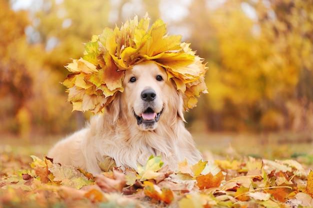 黄色のカエデの木の花輪を身に着けているゴールデンレトリバーの葉