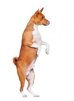 舌を出して後ろ足で立っている空腹のバセンジー犬