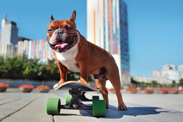 市内中心部で楽しんでスケーター犬