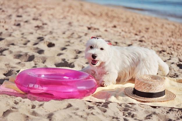 ビーチでタオルの上に敷設白いウェスティ犬