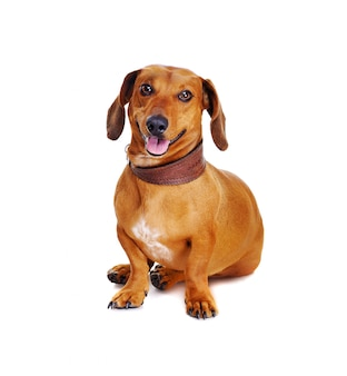 彼の頭にサッカーボールを持つダックスフント犬