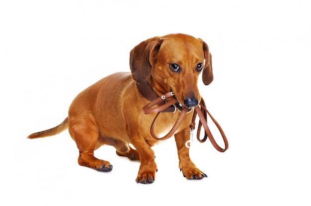 Такса собака держит поводок
