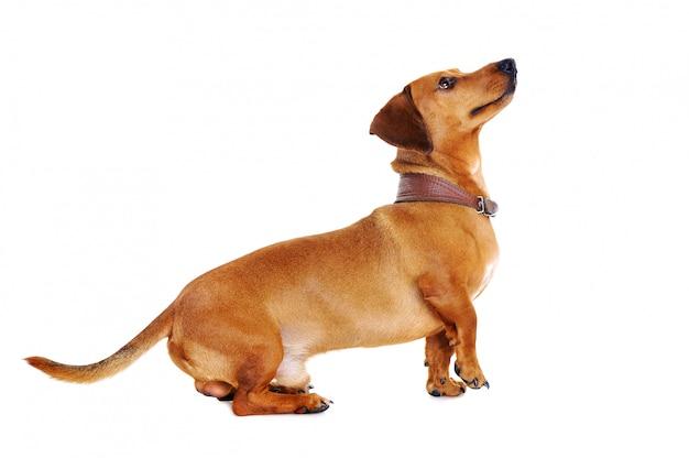 完全な長さの肖像画を見上げているダックスフント犬