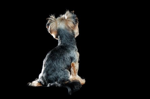 ヨークシャーテリアの黒い犬に座っての背面図