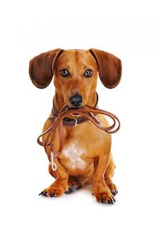 散歩に行く準備ができて革ひもを持つ犬