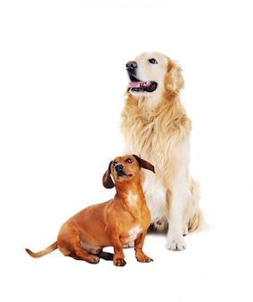 ダックスフント犬とゴールデンレトリバー