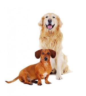 床に座ってダックスフント犬とゴールデンレトリバー
