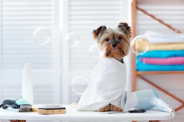 グルーミングサロンに座っているタオルでヨーキー子犬の完全な長さの写真