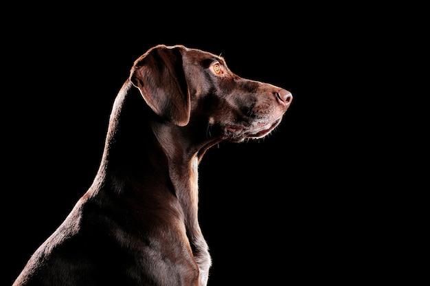 Низкий профиль портрета собаки курцхаар