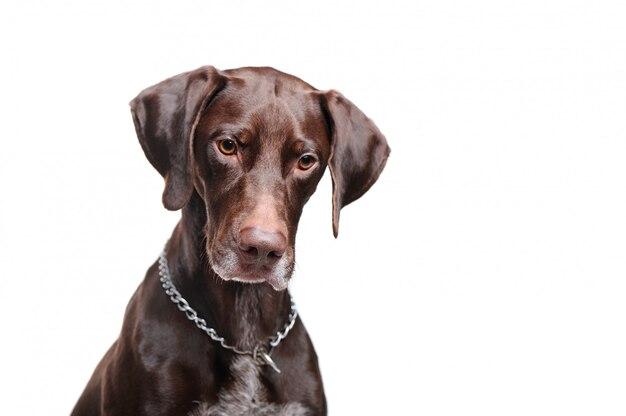 Указатель собака смотрит вниз выстрел