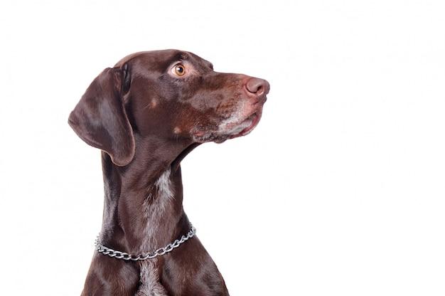 Вид сбоку головной портрет указателя собаки