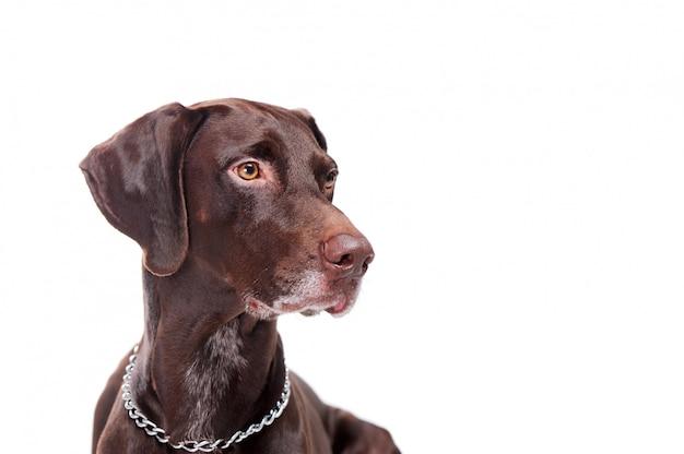 Боковой вид портрета указателя собаки выстрелил головой