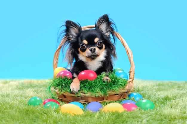 Чихуахуа сидит в корзине с пасхальными яйцами на газоне