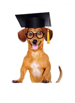 モルタル板の帽子をかぶっているダックスフント犬
