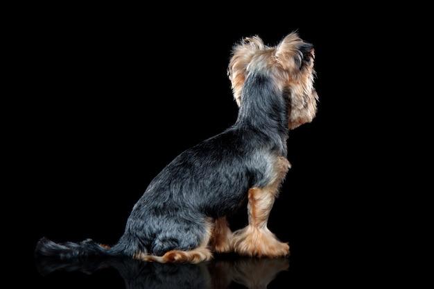 振り返って座っているヨーキー犬