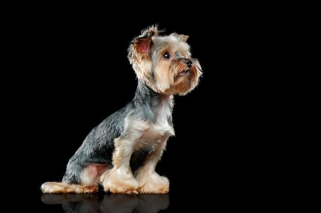ブラックサイドビュー画像のヨーキー犬