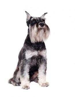 白のシュナウザー犬