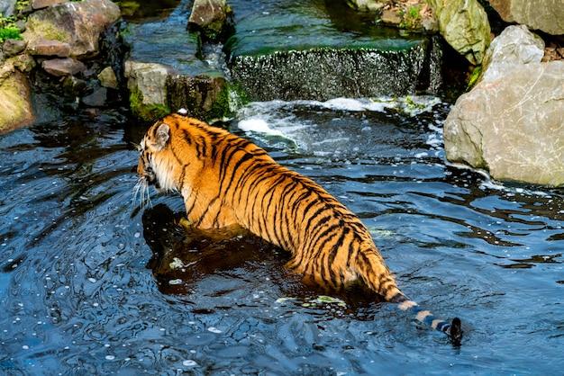 Тигр гуляет в воде