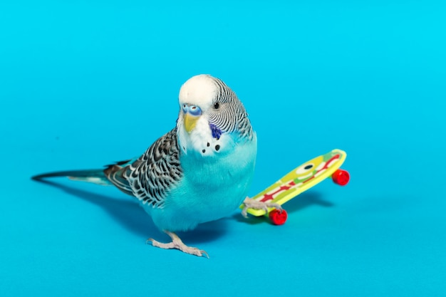 Небесно-голубой волнистый попугай с пластиковой игрушкой скейтборд на цветном фоне