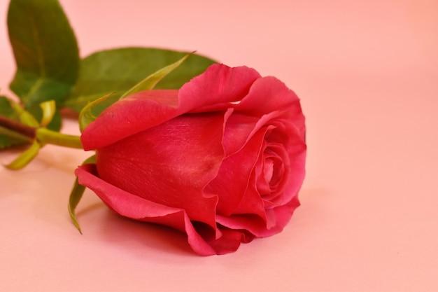フクシアのバラのつぼみ。女性の日のグリーティングカード。ピンクの背景の美しいシングルローズ。