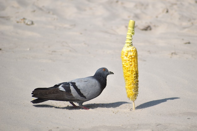 Голуби на пляже едят кукурузу.