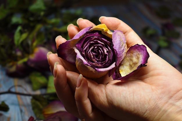 衰弱と人生のもろさ。やさしい女性の手のひらにバラのつぼみを乾かします。