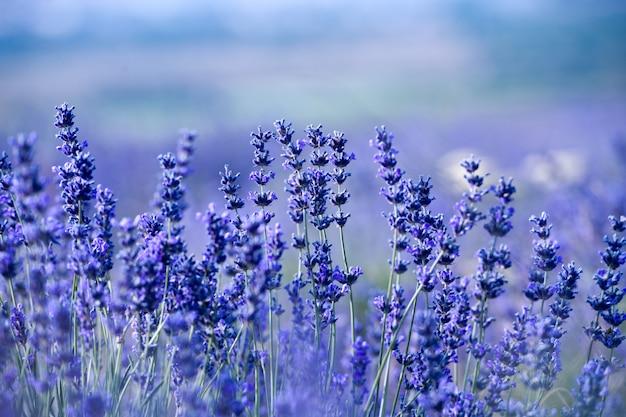 夏のラベンダー畑。アロマセラピー。自然化粧品。