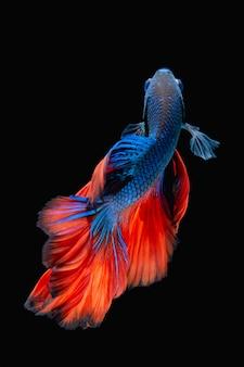 Бетта рыба