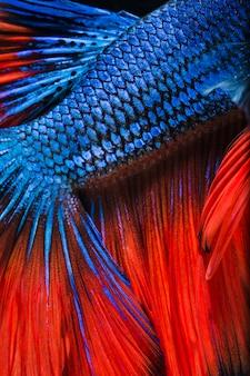 カラフルなベタの魚をスケールを閉じる