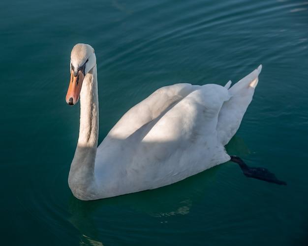 Портрет белого лебедя в открытом море