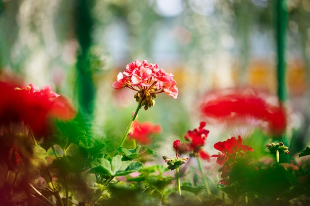 ぼやけた上の赤い花のクローズアップ