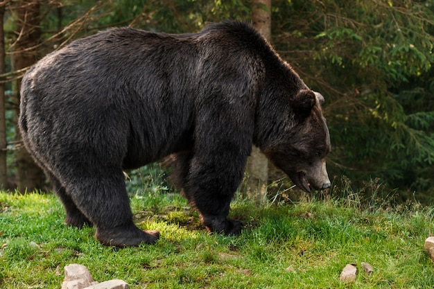 森の茶色のハイイログマ