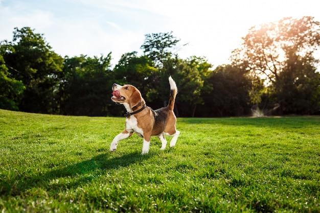Смешная счастливая собака бигля гуляя, играя в парке.