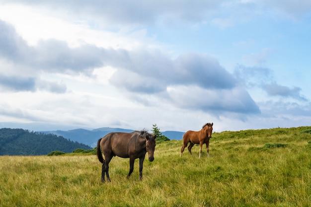 ウクライナのカルパチア山脈の牧草地で放牧する馬。