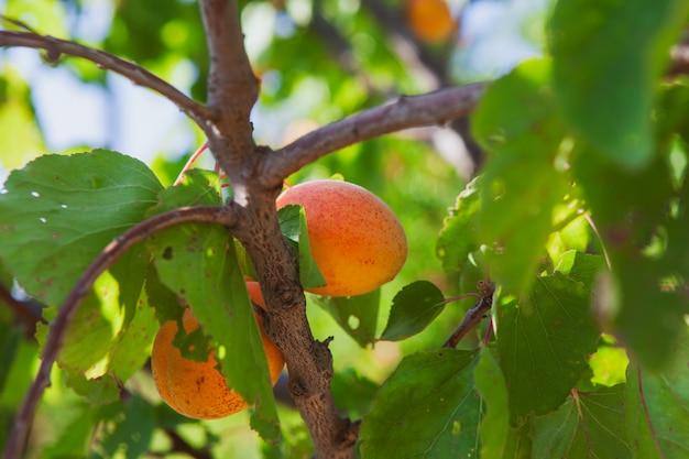 アプリコット果樹と葉。側面図。