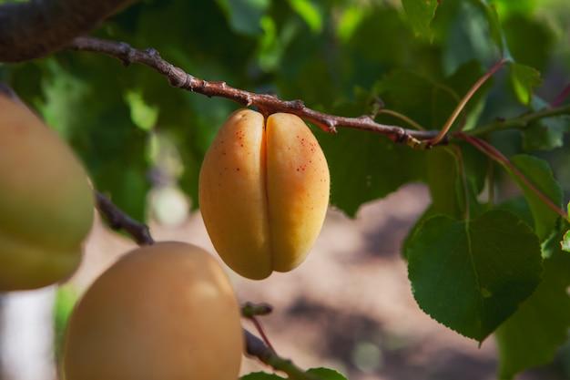 葉とアプリコットの果樹。側面図。