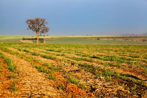 Одно дерево на плантации сахарного тростника