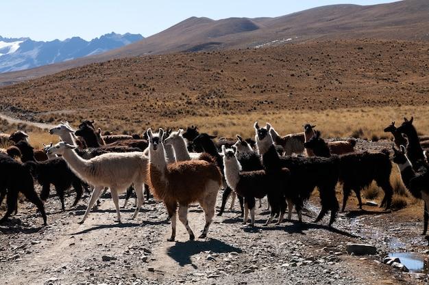 ボリビア高地の野生のラマ-アルティプラーノ-ビキューナアルパカラマ