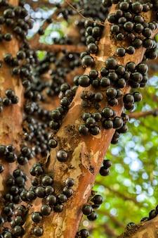 トランクに本格的な果実がたくさんあるヤボチカバブラジルの木