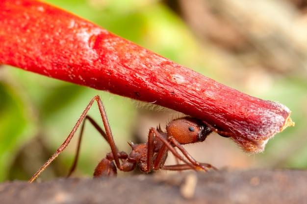 赤い花の部分を運ぶ葉カッターの蟻-アッタ