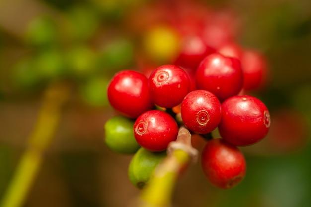 Кофе в зернах зрелый готов забрать на дерево - кофе арабика