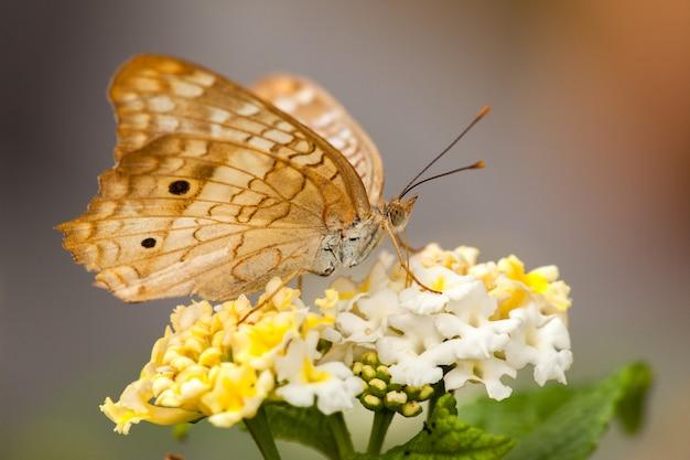 Бабочка на цветке лантана