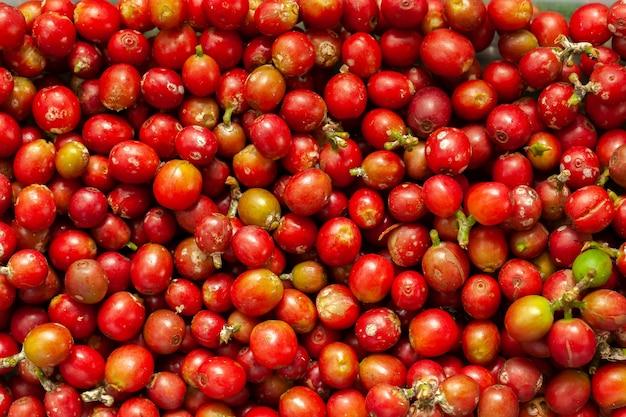 Недавно собранные кофейные бобы зрелые - кофе арабика