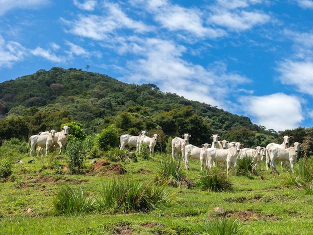 Быки, живущие свободно в поле - домашний скот