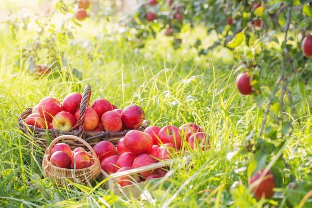 Красные яблоки на зеленой траве в саду