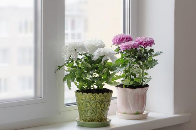 窓辺に鍋に菊
